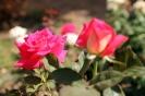 Роза_32