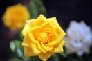 Роза_33