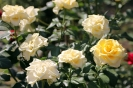 Роза_34