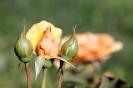 Роза_3