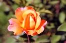 Роза_4