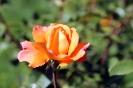 Роза_5