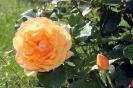 Роза_8